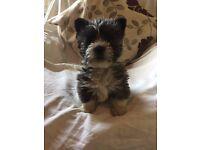 West Highland Terrier x Shih Tzu puppies
