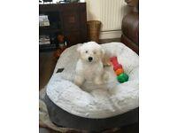 Pure Bichon Frise Puppy for sale