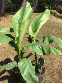 Basjoos banana plants