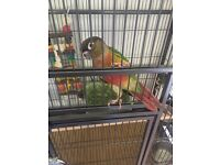 Green cheeked, yellow sided conure + cage, toys, food, minerals