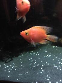 Super red King Kong parrot cichlid fish