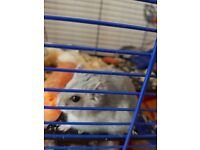 Dwarf male hamster with all accessories
