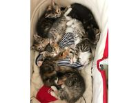 10 week old kittens Tabby and tabby with ginger splashes. Wormed, flea treated and litter trained