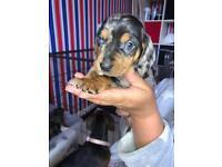 Miniature 7/8th daschund puppies