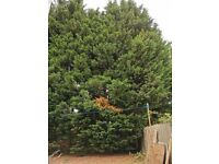 Tree Surgeon required, Cut Remove 13 Conifer Trees.