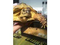 2yo Horsefield Tortoise for Sale