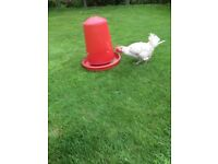 POULTRY CORN FEEDER