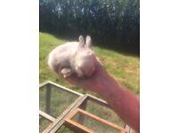 Baby netherland dwarf rabbits ready ready beautiful litter