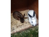 2 Rabbits with a hutch and a run for garden