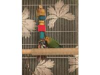 Love bird FREE TO COLLECTOR