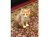Kitten for home, long haired male, ginger colour