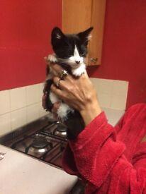 8 half week old boy kitten last one