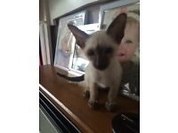 Siamese Chocolate point boy kitten , Ready now