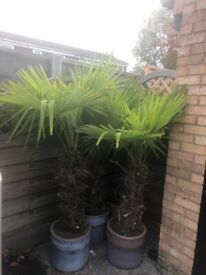 5to 6ft palm trees
