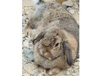 Pair bonded rabbits