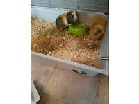 Guiena pigs x2