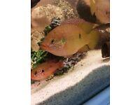 Jewel cichlids pair