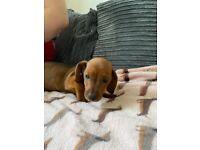 Ikc male Miniature dachshund puppy