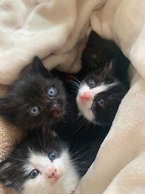 4 beautiful hand-reared kittens