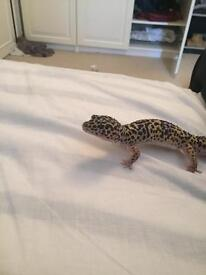 Leopard Gecko + full set-up + cricket pen + spare tank