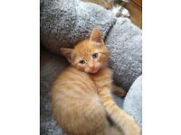 Beautiful Part Ragdoll Kittens