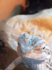 Baby bearded dragons for sale,eating drinking and pooping x