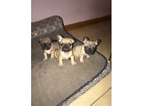 KC REGISTERED FAWN FRENCH BULLDOGS