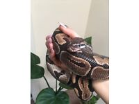 Royal Python, Male + Vivarium + whole set up