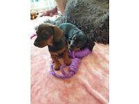 Miniture Dachsund Puppies