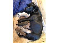 Patterjack pups