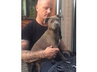 KC Blue female Staffordshire bull terrier puppy