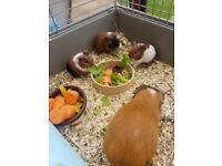 2 baby male guinea pigs