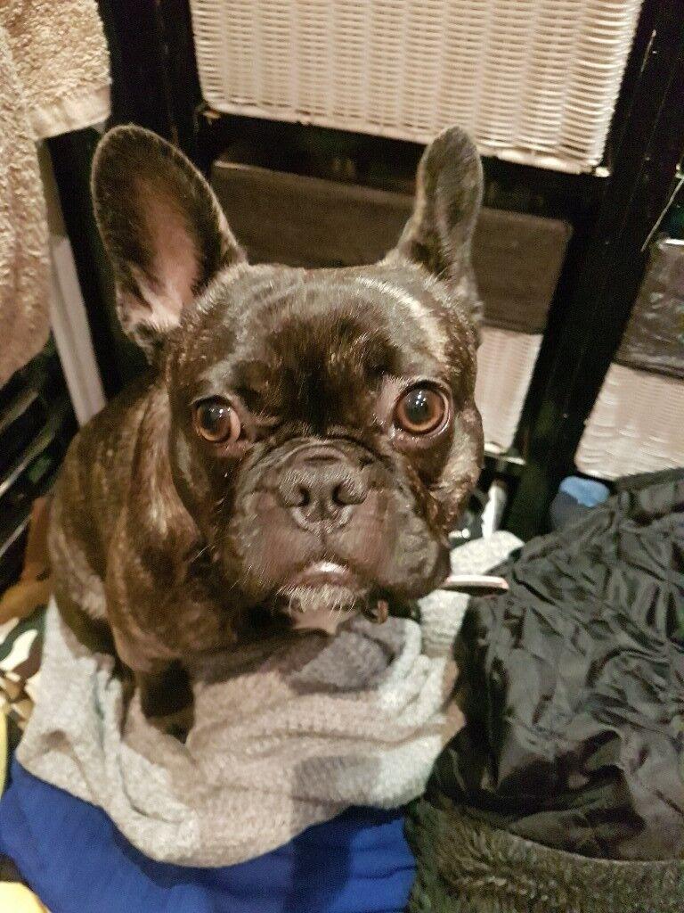 French bulldog girl 8 months