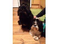 Shih tzu puppies (shitzu no lhasa apso)