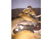 Two male whippet pups