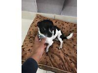 Chihuahua tiny boy Dog,2 year old,black and white named Oreo lol.great tiny boy,