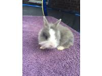 Dwarf rabbits, £40 or 2 for £60