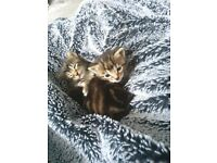 Main coon x bengal kittens for sale reserve now
