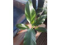 Large banana plant