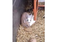 two netherland cross rabbits 5 month old