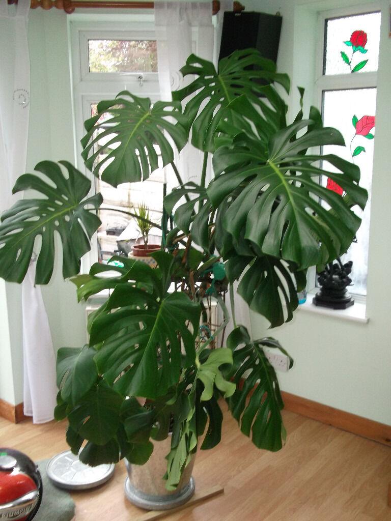 money plant hanging