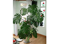 "Swiss Cheese Plant ""Monstera Deliciosa"" Plant APPROX. 170cm TALL AND 120CM WIDE"