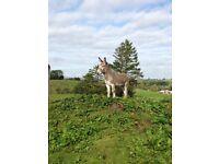 Stallion Donkey 12.2 Hands - With Passport