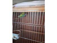 8 budgies plus 4 cages for sale