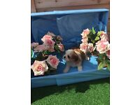 5 Generation pedigree Shih Tzu Puppies
