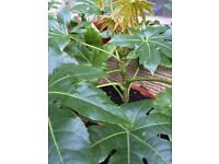 Fatsia Japonica Plants For Sale - Different Sizes and Prices