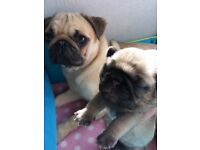 Pugs Scotland In Scotland Dogs Puppies For Sale Page 22 Gumtree