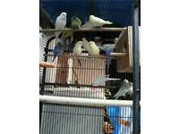 4 BUDGIES BIRDS FOR SALE