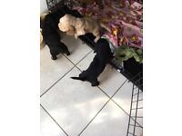 Show Type Cocker Spaniel Puppies only 1 male left!!!