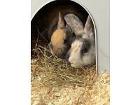 Female Junior Rabbit (Cage Optional)